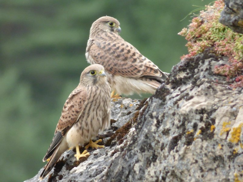 Two young kestrels sitting on the last big rock in Cantobre