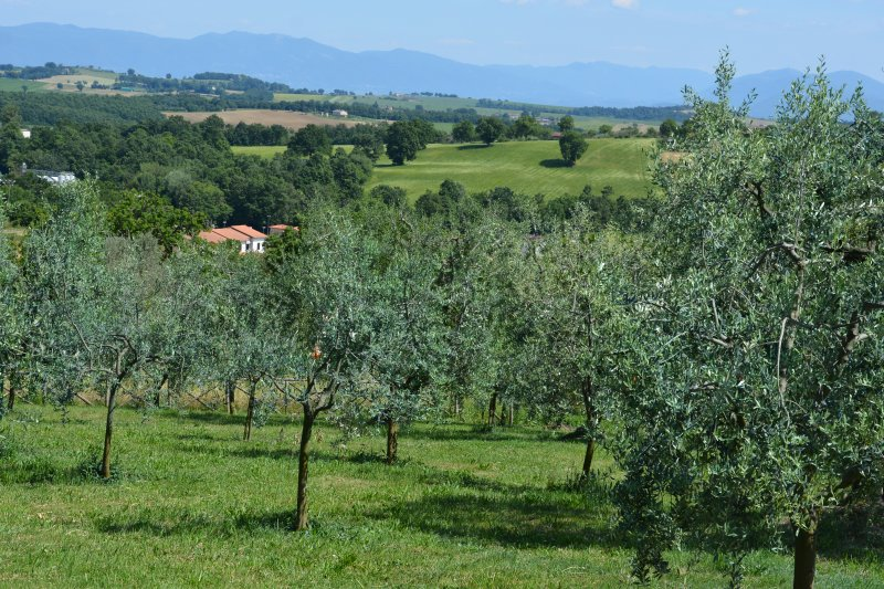 the olive trees