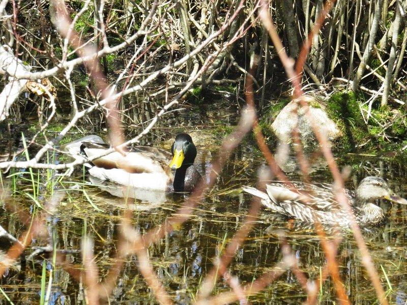 Ducks at Shipwright's Cottage