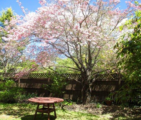 Back garden. Pink dogwood blossom in Spring.
