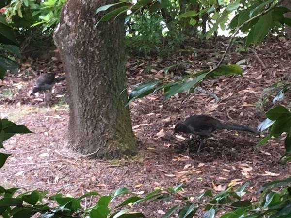 A pair of lyrebirds in the front garden - Summer