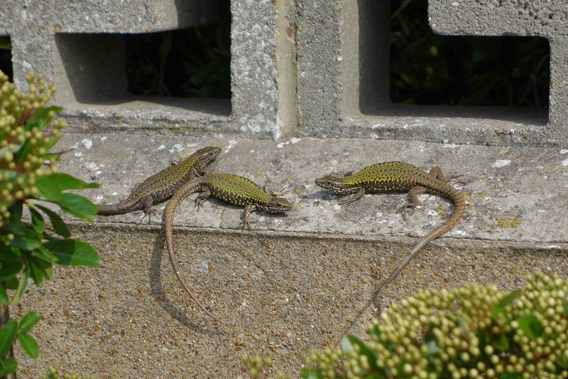 Wall lizards sunbathe on our patio all year round
