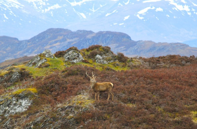 Red Deer on the Suidhe Pass.  4 miles from cottage.