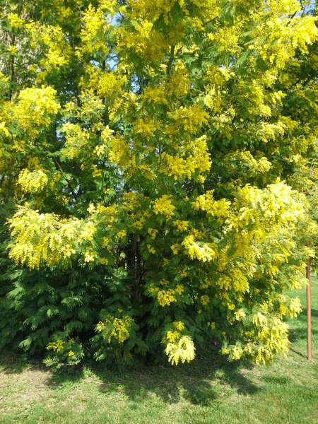 The beautiful sweet smelling mimosa in full bloom