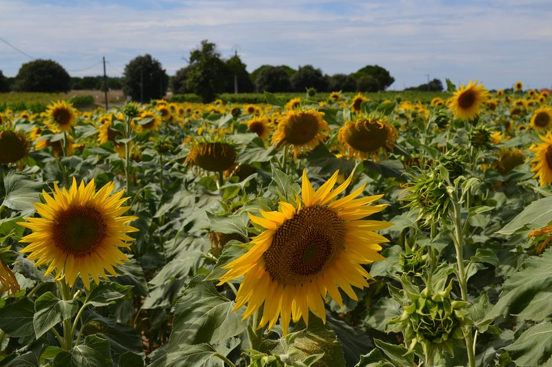 Sunflowers - a local crop alongside Maize and Vines (these are at the end of the garden)