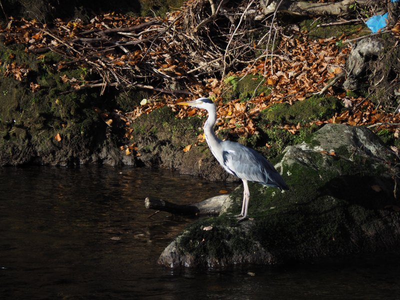 Picture of heron taken from patio to the rear of Lydia'sRiver Cottage.