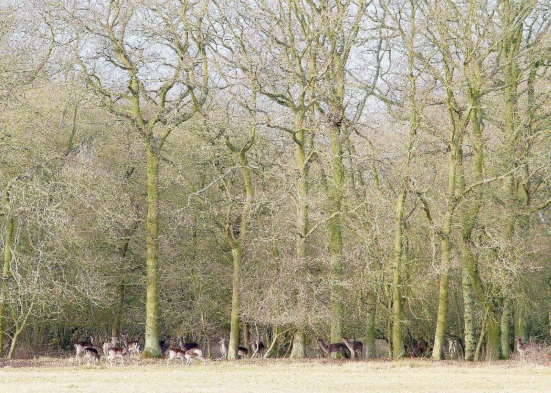 manada de ciervos local
