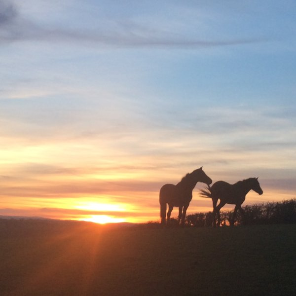 Our Connemara ponies enjoy the sunset