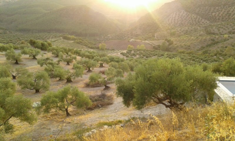 Golden evening glow over the olive grove