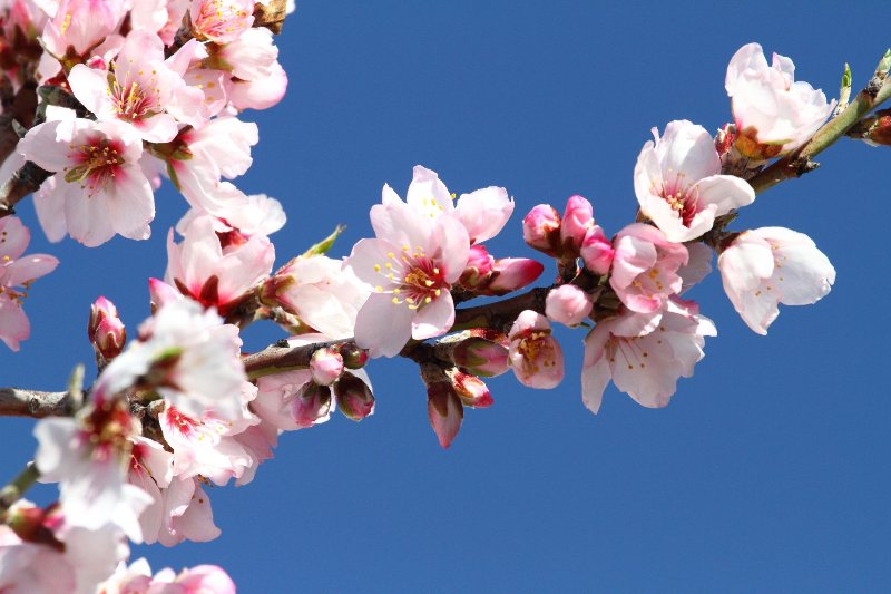 Gorgeous almond blossom, usually seen in late winter and early spring