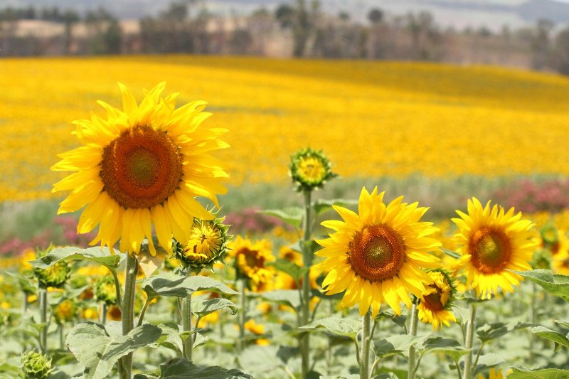 Gorgeous fields of sunflowers, seen on the road to Arcos during May, June and July