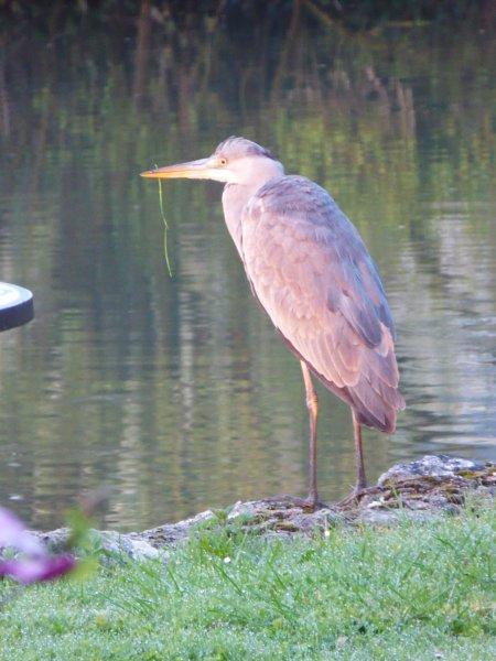 Garza por el estanque en la mañana