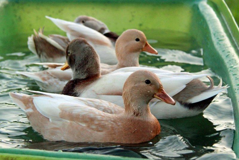 Resident Call Ducks taking a bath in the summer sun.