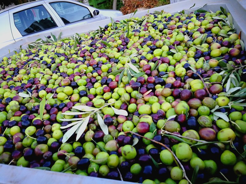 Olive bio for the production of our oil