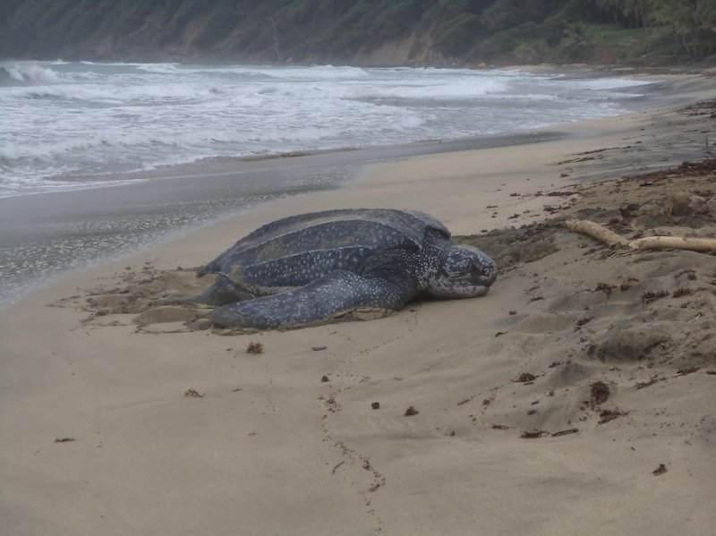 Giant Turtles lay eggs March -July