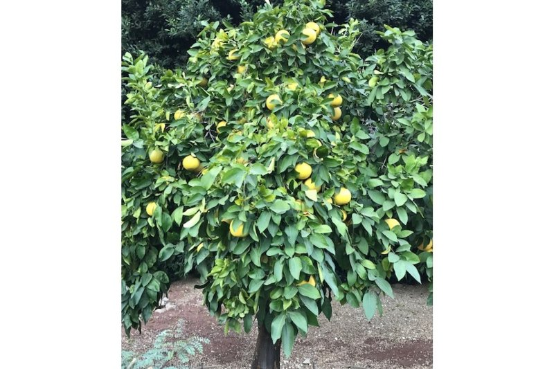 Citrus Trees on the Property
