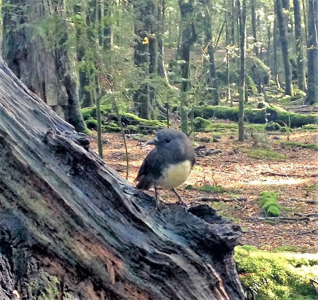 Small native birds like the Bush robin often follow people who walk along forest tracks.