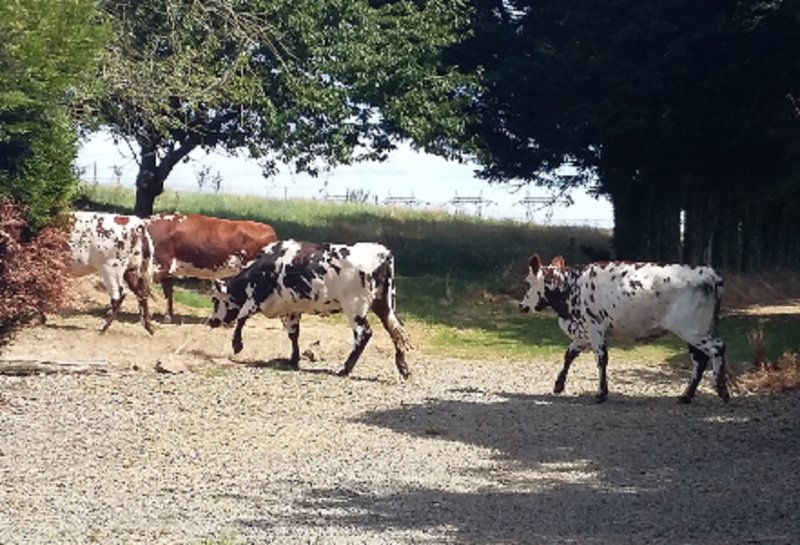 Local Normandy Cows