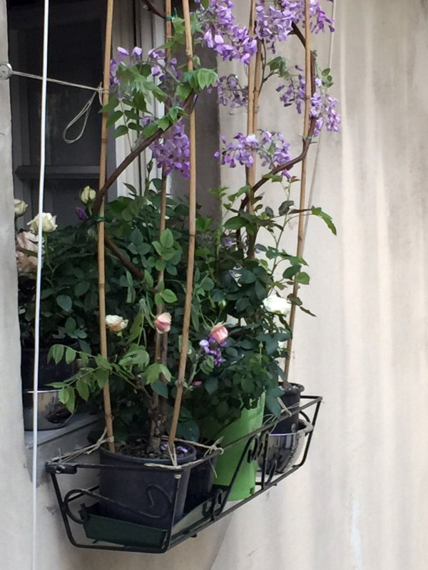 little mediterranean roof garden - wisteria and roses blossoming