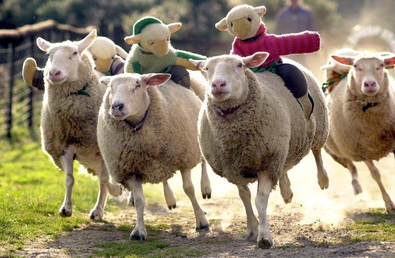 The Big Sheep at Bideford