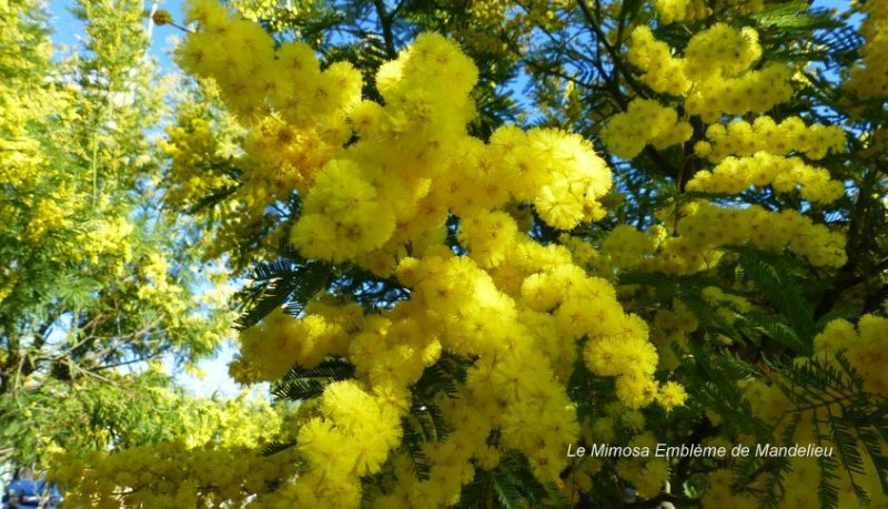 El emblema de la mimosa de Mandelieu la Napoule.