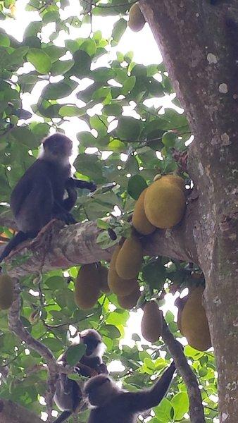 Macacos em nossas árvores jack