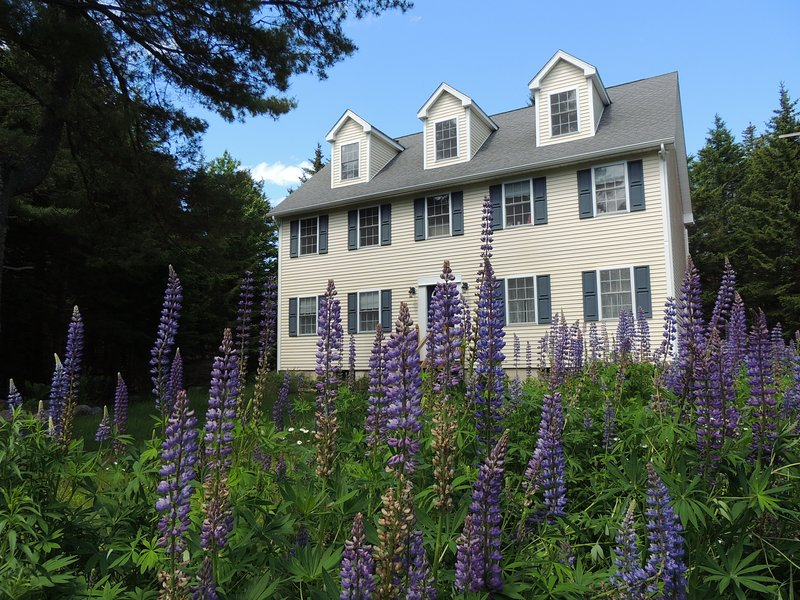 Lupine blooming in garden