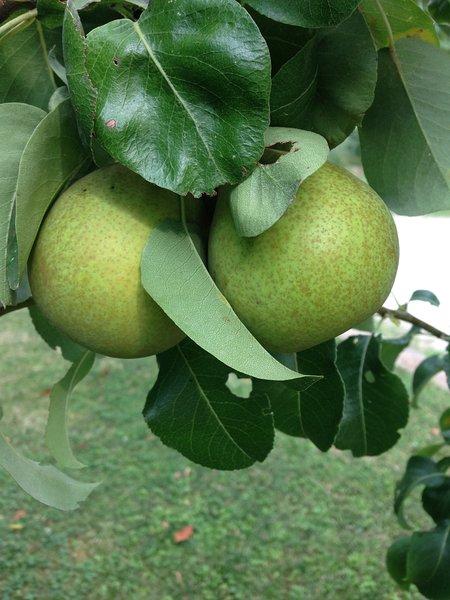 Peras em nosso pomar
