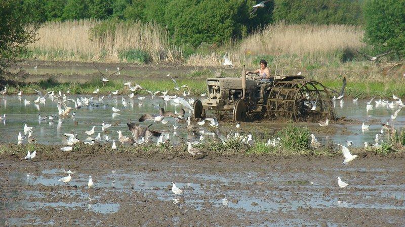 Lavorare la terra per la semina del riso - Bioria Salreu
