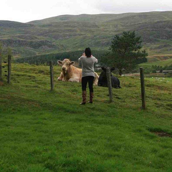 Mesmo as vacas em Laggan são bons para fotografar
