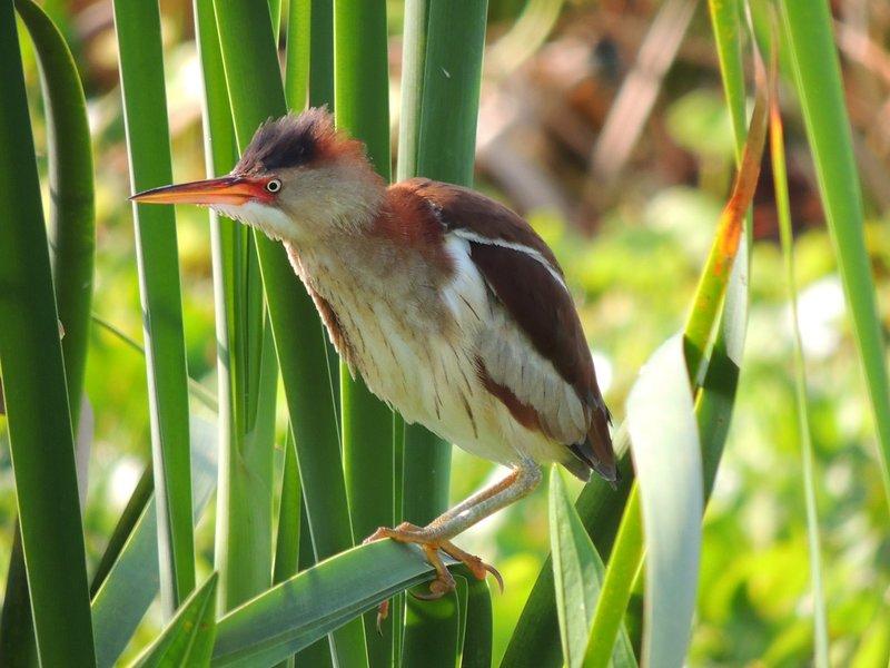 Las aves tomadas por el fotógrafo fabulosa Birder y Sue Wetmore