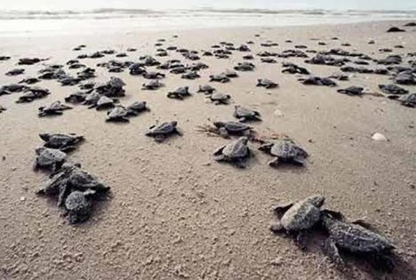 tybee baby sea turtles headed to the ocean!