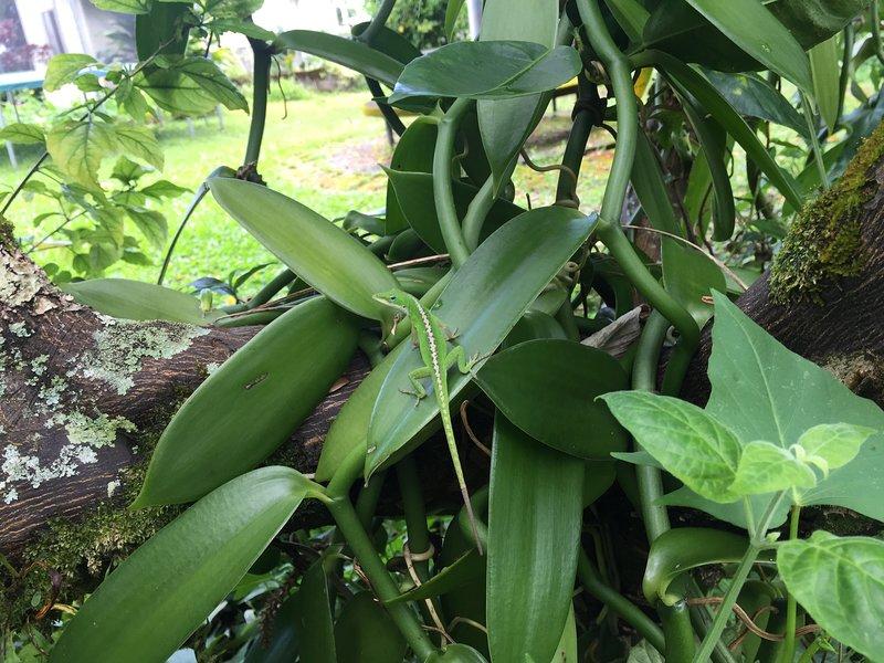 Lizard on the Vanilla Orchid