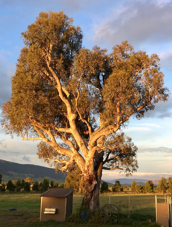 Our stunning gnarled old gum tree stands proudly over the chicken coop.