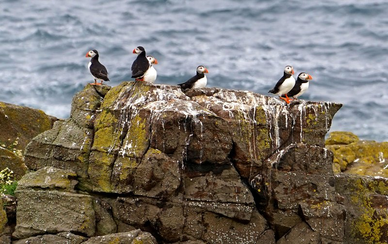 Puffins on the May Island