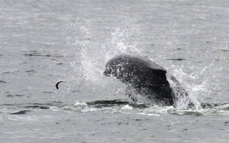 bottlenose dolphin chasing small fish. Dolphins are often seen in the Moray Firth