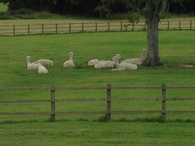 View of the alpacas from the master bedroom