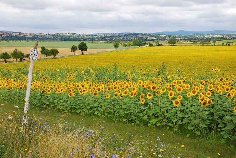 Typical sunflowers of Tuscan countryside