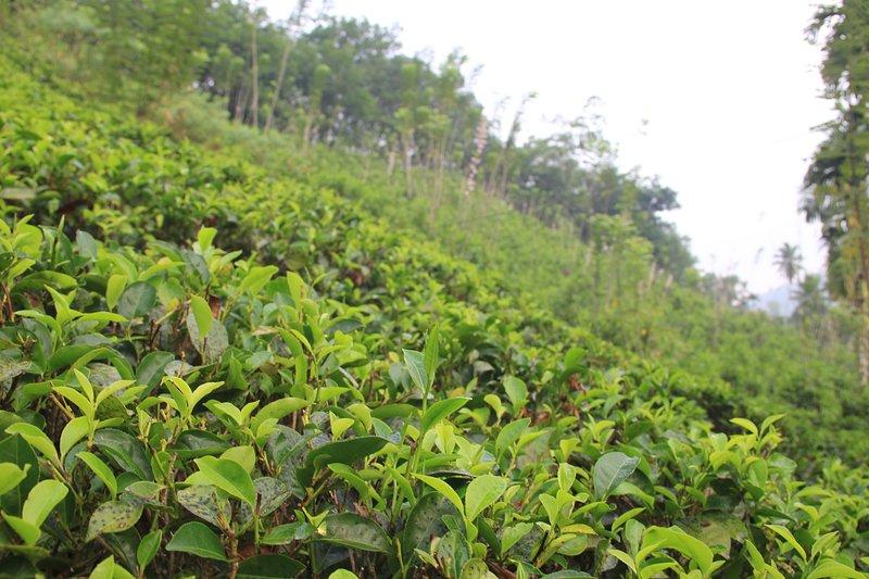 plantación de té alrededores