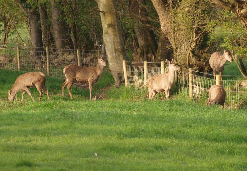 Red deer in the garden