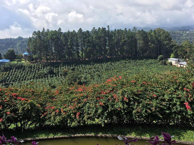 Una plantación de café cerca.