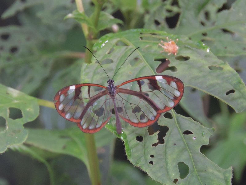 We have exotic plant and animal life here in Boquete.  This is a 'Glass Butterfly.'