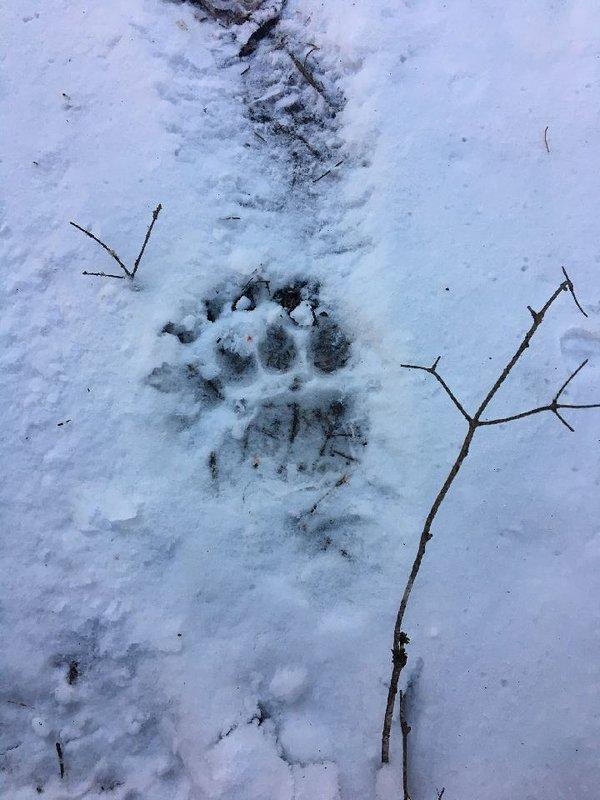 Traces de pattes d'ours dans la neige