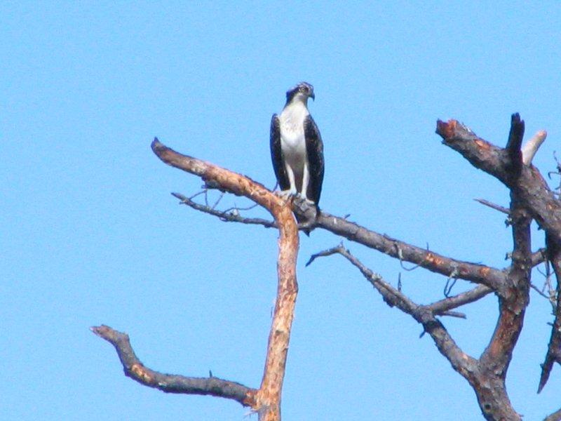 Las aves también son abundantes here..an Osprey ..
