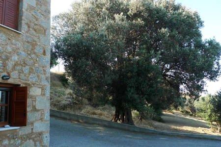 Il vecchio ulivo è un arredamento naturale.