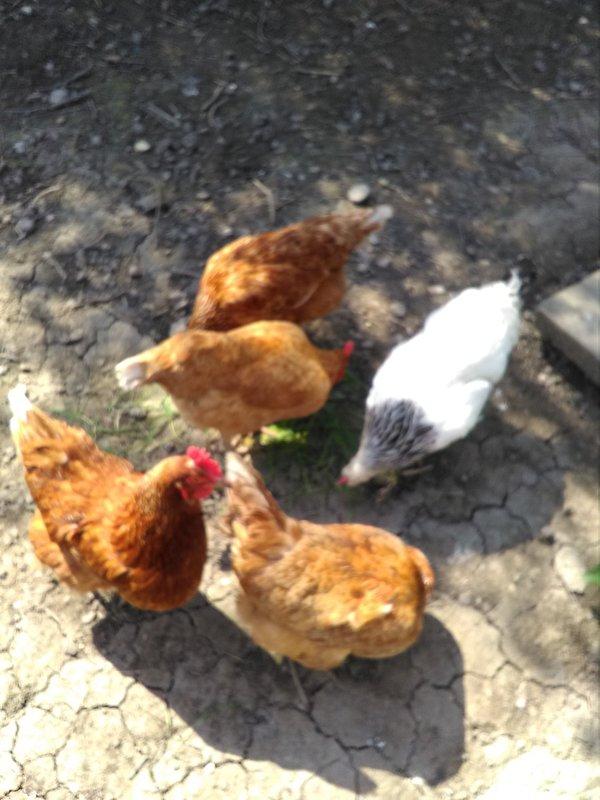 Nutrire i nostri polli ruspanti e mangiare le loro uova fresche belle