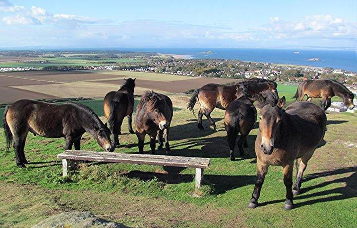 Wild horses on North Berwick Law