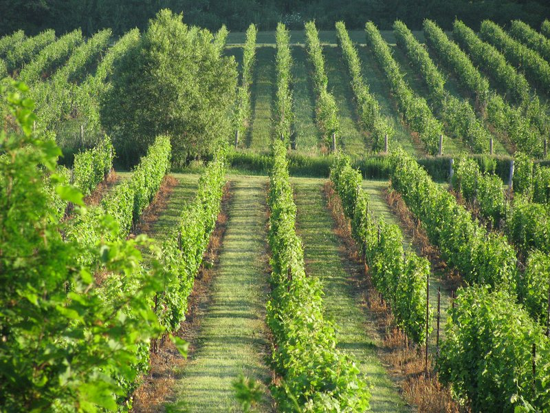 View of vineyards from upper deck in summer