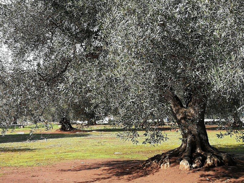 Olives à côté du Trullo