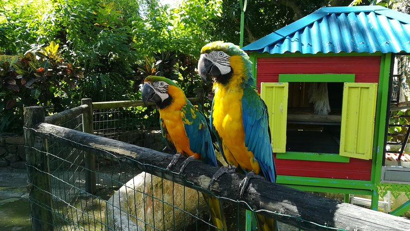Parrots in Deshaies